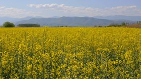 Rapeseed, clouds and mountains stock footage