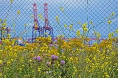 Rapeseed and clover in a harbour area royalty free stock photos