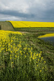 Rapeseed Royalty Free Stock Photography