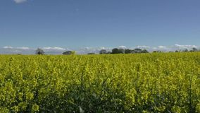 Rapeseed crop blowing in the wind across the top stock video
