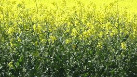 Rapeseed crop blowing in the wind stock footage