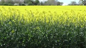 Rapeseed crop in the breeze stock video footage