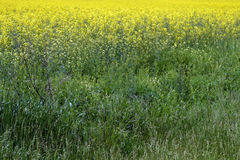 Rapeseed crops in the plain 1 Stock Image