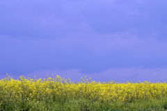 Rapeseed crops in the plain 2 Royalty Free Stock Photography