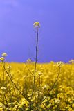 Rapeseed crops in the plain 3 Stock Photography