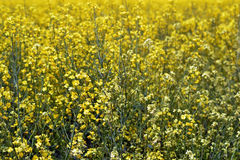 Rapeseed crops in the plain 4 Royalty Free Stock Images