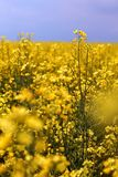 Rapeseed crops in the plain 5 Royalty Free Stock Photography