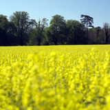 Rapeseed and dark treeline. A field of yellow rape seed with dark trees in the background Stock Image