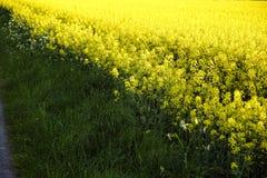 Rapeseed em Alemanha 06 Fotografia de Stock Royalty Free