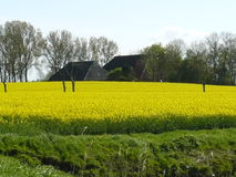 Rapeseed with farm in the field. Stock Photography