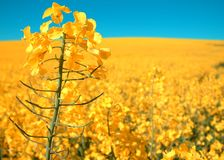 Rapeseed field. Field of rapeseed oil crop Royalty Free Stock Photo
