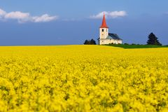 In the rapeseed field Royalty Free Stock Image
