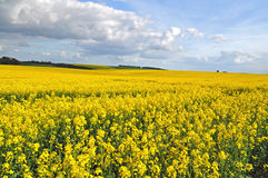 Rapeseed canola field Royalty Free Stock Photo
