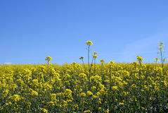Rapeseed Field. (Brassica rapa ssp. oleifera) and the blue sky Stock Images