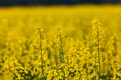 Rapeseed field. Rapeseed flowers in a field full of the yellow spring crop royalty free stock image