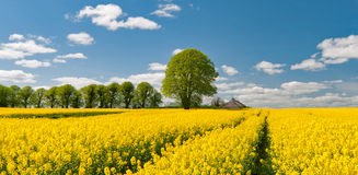 Rapeseed Field. A field of rapeseed flowers in full bloom Royalty Free Stock Photo