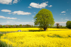 Rapeseed Field. A field of rapeseed flowers in full bloom Royalty Free Stock Images