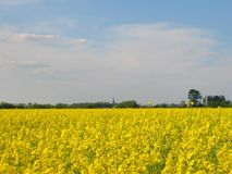Rapeseed field. Field of yellow rapeseed in spring Royalty Free Stock Photo