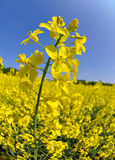 Rapeseed field. With blue sky - fisheye  shot Stock Image