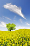 Rapeseed field. Spring tree in the rapeseed field Stock Images