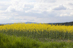Rapeseed Field Royalty Free Stock Images