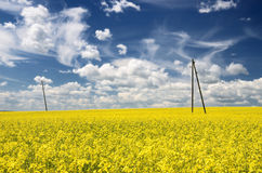 Rapeseed field Royalty Free Stock Image