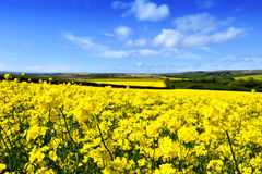 Free Rapeseed Field Royalty Free Stock Photography - 35505957