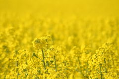 Rapeseed field. A photo of a rapeseed field in spring Stock Image