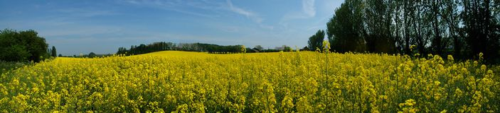 Rapeseed Field. Panorama of yellow rapeseed field in England Stock Photos