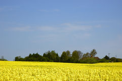 Rapeseed field. With blue sky and text space Royalty Free Stock Image