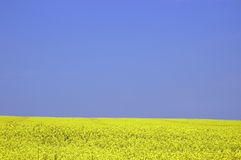Rapeseed field. With blue sky and text space Royalty Free Stock Photos