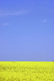 Rapeseed field. With blue sky and text space Stock Photo