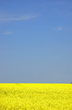Rapeseed field. With blue sky and text space Royalty Free Stock Photo