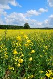 Rapeseed field background Royalty Free Stock Images