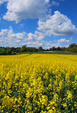 Rapeseed in field. Rapeseed growing in a field in the Kent countryside in England Royalty Free Stock Photos