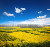 Rapeseed field against a blue sky Royalty Free Stock Photos