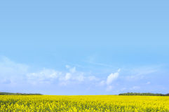 Rapeseed field against clear blue sky Stock Photo