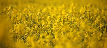 Rapeseed field macro background. Rapeseed field Alternative energy yellow fresh ag Stock Images