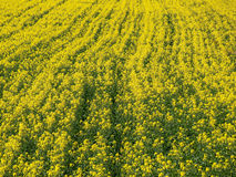 Rapeseed field background Stock Photo