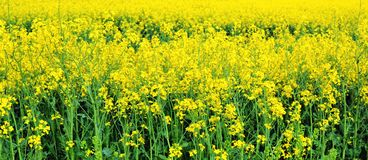 Rapeseed field background Stock Photography