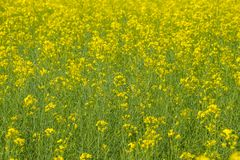 Rapeseed field. Background of rape blossoms. Flowering rape on the field. Rapeseed field. Background of rape blossoms. Flowering rape on the field Stock Photos