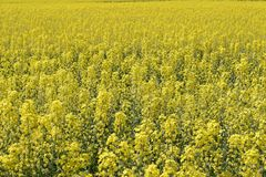 Rapeseed field. Background of rape blossoms. Flowering rape on the field. Rapeseed field. Background of rape blossoms. Flowering rape on the field Stock Photo