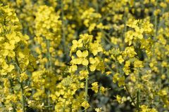 Rapeseed field. Background of rape blossoms. Flowering rape on the field. Rapeseed field. Background of rape blossoms. Flowering rape on the field Stock Photography