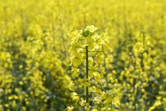 Rapeseed field. Background of rape blossoms. Flowering rape on the field. Rapeseed field. Background of rape blossoms. Flowering rape on the field Stock Images