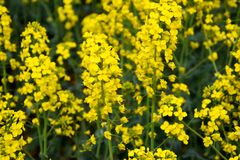 Rapeseed field. Background of rape blossoms. Flowering rape on the field. Rapeseed field. Background of rape blossoms. Flowering rape on the field Royalty Free Stock Images