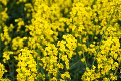 Rapeseed field. Background of rape blossoms. Flowering rape on the field. Rapeseed field. Background of rape blossoms. Flowering rape on the field Royalty Free Stock Photos
