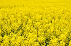 Rapeseed field. Background of rape blossoms. Flowering rape on the field. Rapeseed field. Background of rape blossoms. Flowering rape on the field Royalty Free Stock Photography