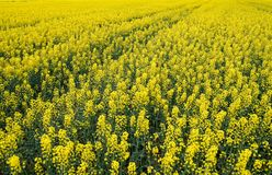 Rapeseed field. Background of rape blossoms. Flowering rape on the field. Rapeseed field. Background of rape blossoms. Flowering rape on the field Stock Image
