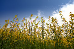 Rapeseed field,backlight Stock Image