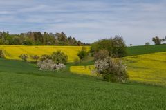 Rapeseed field. In beautiful german region Odenwald royalty free stock images